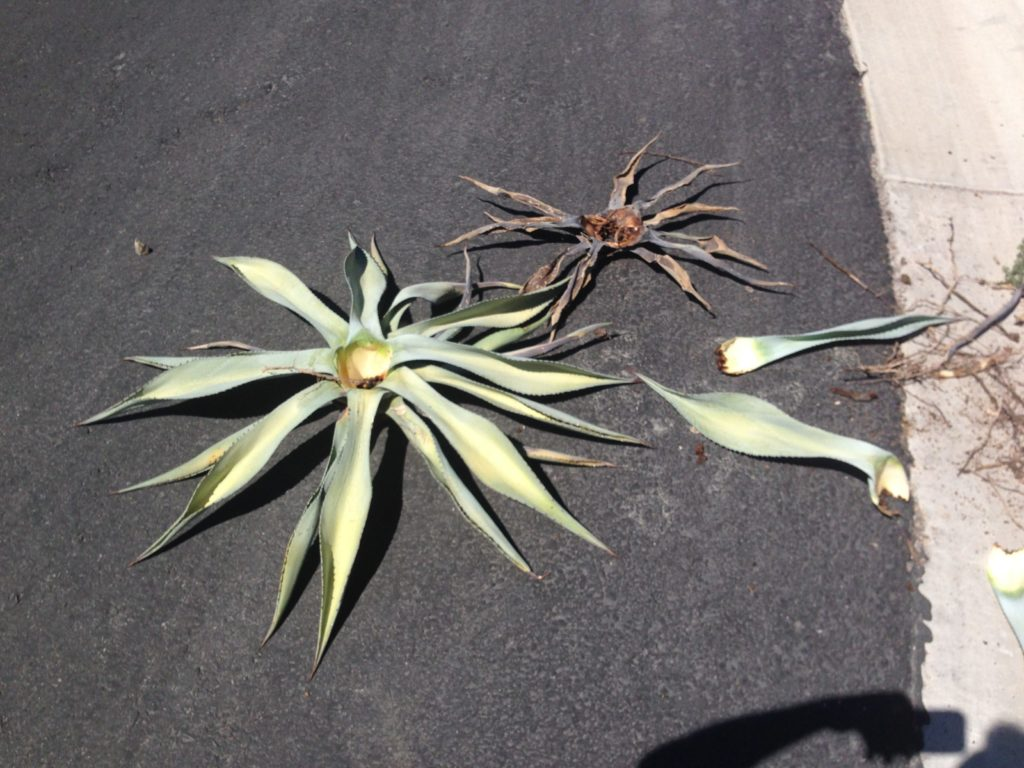 pieces of agave killed by weevils